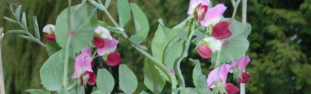 Purple peas in flower